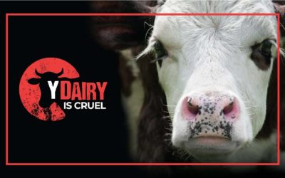 Why Dairy is Cruel?