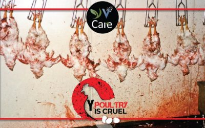 Why Poultry Is Cruel?